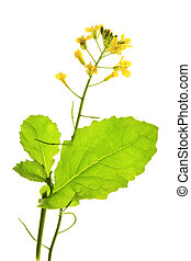 Canola plant (Brassica napus) - flowering Canola plant...