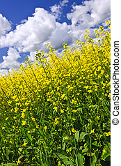 Canola plants in field