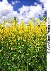 Canola plants in field - Canola or rapeseed plants growing...