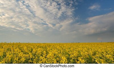 Canola rape yellow field, time lapse