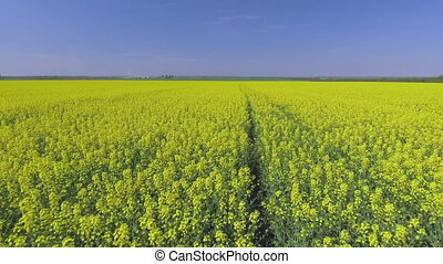 Canola rapeseed field. Aerial drone shot.