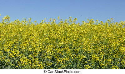 Canola, rapeseed field - Oil rape, canola plants in field in...