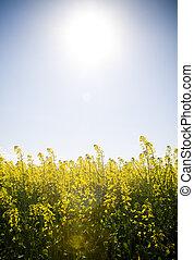 Canola Under Sun