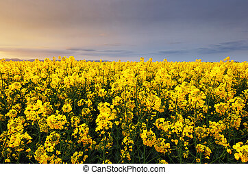 Canola yellow field, landscape on a background of clouds at sunset, Rapeseed