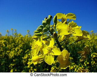 I like this photo very much because the canola symbolizes the summer, fresh air and the winter has gone.