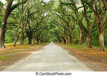 Canopy of oak trees covered in moss. Forsyth Park, Savannah, Geo