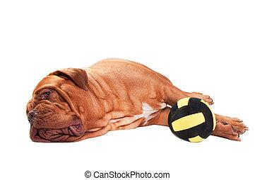 cansado, juego, perro