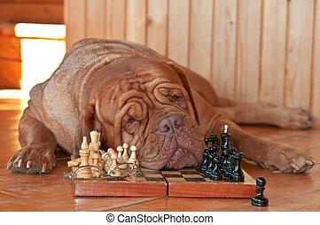 cansado, perro, ajedrez