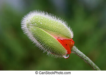 Poppy in the rain - A poppy flower about to burst after a...