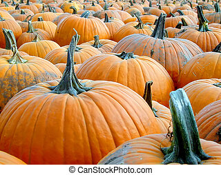 Pumpkin Patch - a field full of ripe, orange pumpkins ready...