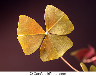 Shamrock closeup - Closeup of a shamrock, dark background -...