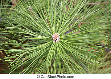 Pine needles - The end of a pine tree branch. Great texture....