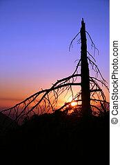 Dead Pine - A silhouette of a dead pine tree