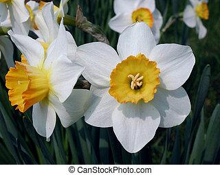 daffodils - A macro shot of 2 daffodils
