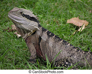 Water Dragon - Australian Water Dragon