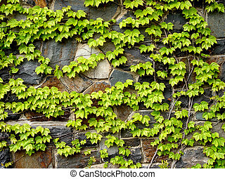 Vine climbing up rustic stone wall