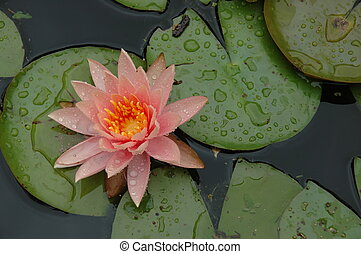 waterlily & droplets - This peach waterlily is from the...