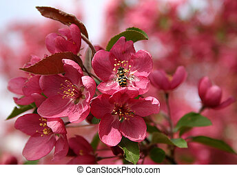 Bee on Pink Flower - Bee, sitting on a Pink Crap Apple Tree...