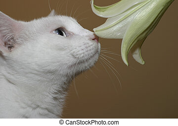 Smells like spring - a white cat sniffing a lily