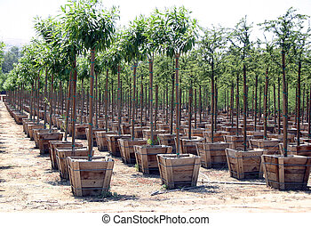 Nursery - Rows of trees at a nursery.