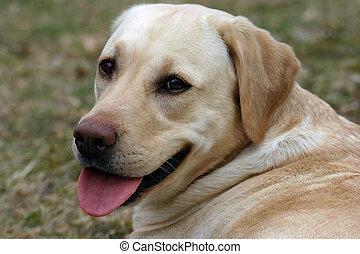 labrador dog resting