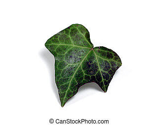 Ivy Leaf - A single ivy leaf, isolated on a white background...
