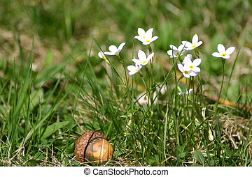 Flowers and Acorn - Some white flowers with an acorn sitting...