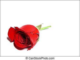 One Rose - A single red rose.