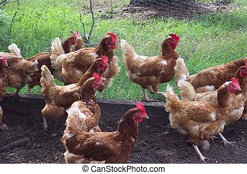 Shake ittothe right - A hen gathering