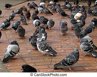 Pigeons - Im told these are actually rock doves, but...