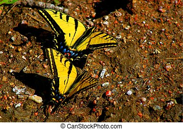 Swallowtails 4538 - Swallowtails dancing in early Spring