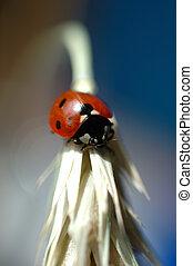 ladybug - close-up of ladybug on wheats ear