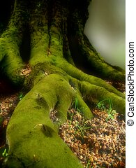 Where Elves live - Big, green roots and trunk of old tree...
