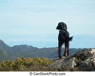 Solitude - Lone Gordon Setter (birddog) overlooking distant...