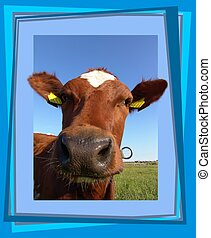 Curious cow - Cow looking through a frame - 3D look