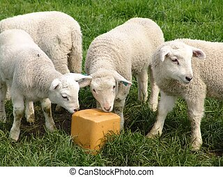 Lambs - Three lambs and a saltblock
