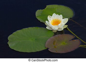 Wild Waterlily - Waterlily