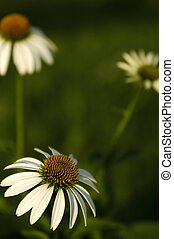 3 Coneflowers - Three white coneflowers, the one in the...