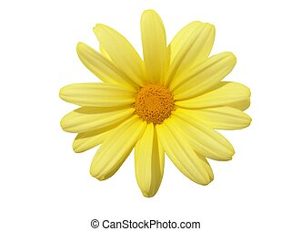 Flower Head - Yellow flower head: Argyranthemum frutescens....