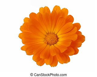 Flower Head - Design element: Calendula officinalis, orange...