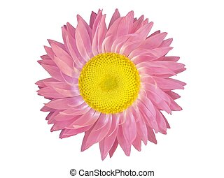 Flower Head - Isolated, pink flower head of Helichrysum