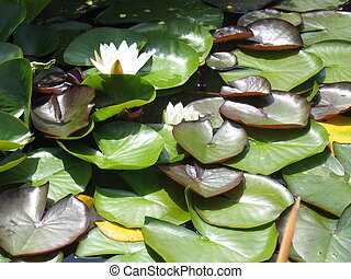 Water Lily - White water lily.