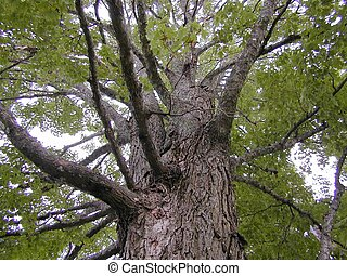 looking up - Photo of a maple tree.. looking up from the...