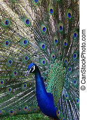 Peacock - This is a peacock profile at the Ft Rickey zoo in...