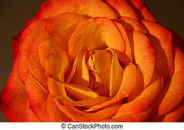 Rose III - A macro of an orange rose.