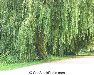 Weeping Willow - A weeping willow.
