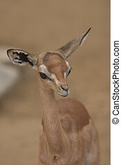 Gazelle/Antelope - Some type of Gazelle/Antelope mix