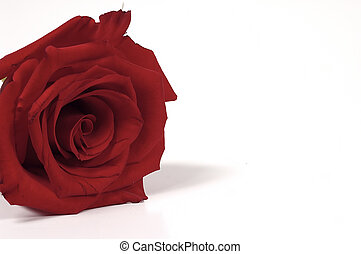 Red Rose 3 - Photo of Red Rose With White Space On The Right
