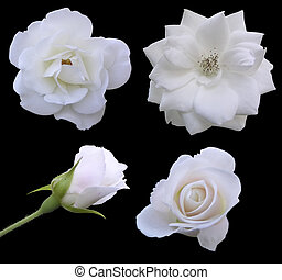 Phases of the Rose - The different stages of a roses flower.