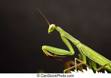 Preying Mantis - Photo of a Preying Mantis